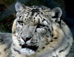 Portrait Of Feline Beauty (ianmichaelthomas) Tags: friends cats melbournezoo bigcats leopards smorgasbord ounce royalmelbournezoo snowleopards supershot animaladdiction specanimal goldenmix avisittothezoo animalcraze anawesomeshot impressedbeauty worldofanimals auselite eliteimages naturewatcher wonderfulworldmix parkvillevictoriaaustralia goldwildlife treeofhonor trueessence itsazoooutthere qualitypixels llovemypics flickrlovers vosplusbellesphotos flickrbigcats wildcatworld flickrsbestcreatures