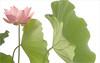 Lotus Flower - IMGP7514 Pink Lotus flower
