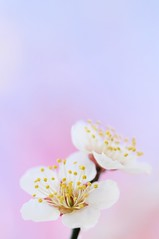 Soft Breeze (*Sakura*) Tags: pink blue white flower macro japan blossom plum explore sakura ume  earlyspring