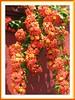 Bauhinia kockiana (Kock's Bauhinia, Red Trailing Bauhinia, Climbing Bauhinia)