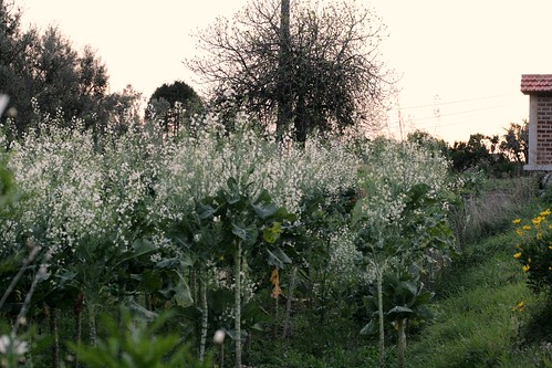 Broccoli stalks gone to seed on Portuguese farm