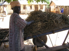 groundnut harvest