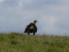 Golden Eagle (ldjaffe) Tags: goldeneagles goldeneagle ucsc aquilachrysaetos greatmeadow nhucsc