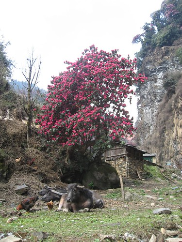 Rhododendrons and livestock
