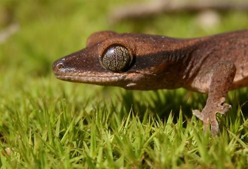 Rhacodactylus Geckos 2449515873_aa3094bcff