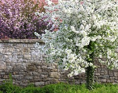 White meets pink (Linda6769) Tags: tree stone wall germany village blossom thuringia flowering churchyard blte blooming bloomingtree kromsdorf madeofstone blhend explored blhenderbaum picturewithmusic aussteingemacht gegenstandausstein