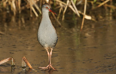 What long legs I have. (Sandra Standbridge.) Tags: waterrail bird secretive freshwaterwetkands wildandfree outdoor nature animal frozen river icy cold winter aquaticus rallusaquaticus