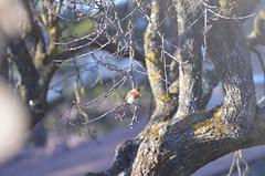 Robin hood (dfromonteil) Tags: robin rougegorge oiseau bird tree arbre amandier nature bokeh wildlife light sunlight morning matin soleil lumière winter hiver