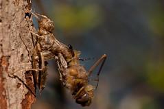 Dragonfly Birth (mbaglole) Tags: lake insect nikon mud dragonfly birth sb600 tele nikkor nepean f28 teleconverter afs 105mm d90 nikonsb600 nikon105mm tc14e nikon105mmf28 nikond90 nikonteleconverter macrolife nikon14x mudlakenepean hpcsummer TGAM:photodesk=wildlife
