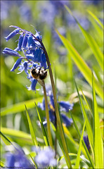 Bluebells, Bee (Stuart-Saunders) Tags: flower macro insect bee pollen bluebell