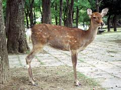 Nara's Deers (Namisan) Tags: