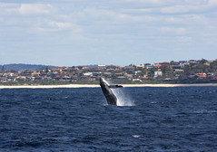Humpback Whale Breaching in Forster