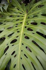 Palm Leaf (Maegs) Tags: hawaii mauihawaii