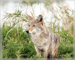 Refuge Coyote (Team Hymas) Tags: coyote wildlife refuge duane ridgefield experiencewa specanimal animalkingdomelite