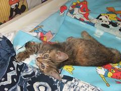 Guendalina (<<<Alex>>>) Tags: cats pets animals cat gatto gatti cuccioli gattini
