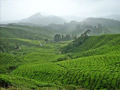 DSCN0560 (huai*) Tags: highlands tea cameron teaplantation