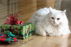 Happy Flickrversary to me! (Abizeleth) Tags: white cat flickr lily gifts presents flickrversary whitecat hardwoodfloor packages christmaspresents