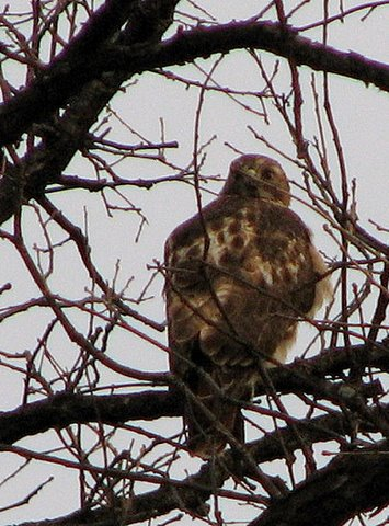 red-tailed hawk look forest park