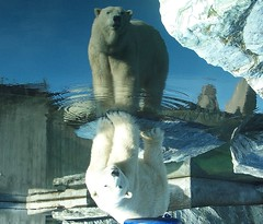 polar bear upside down stuttgart 10 02 08 (koller93) Tags: bear nature animal bar mammal zoo stuttgart reflexions tiergarten ours wilhelma specanimal excellentphotographerawards llovemypic itsazoooutthere