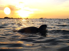 Green Sea Turtle takes a breath as the sunsets (charithra Hettiarachchi) Tags: underwater powershot snorkeling hikaduwa canon sri lanka is mywinners a720 superbmasterpiece diamondclassphotographer housing wpdc6