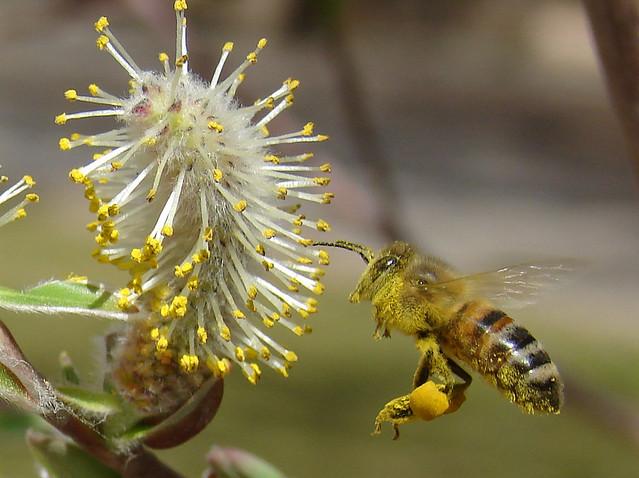 เลี้ยงผึ้งหลวง ในสวนยางพารา