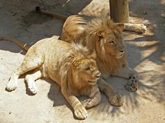 We get along just fine (Marina C.Ribeiro- I'm Back!!!!!) Tags: animals wildlife lion felinos felines mammals animais animalplanet bigcats leo mamferos pantheraleo marinacribeiro