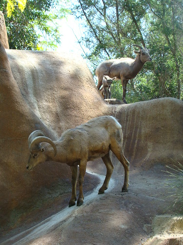 Bighorn Sheeps at the Los Angeles Zoo