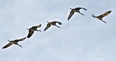 Sand Hill Cranes in flight (walla2chick) Tags: ca winter usa bird birds cranes sacramento migration preserve sandhill sandhillcranes cosumnesriverpreserve wowiekazowie