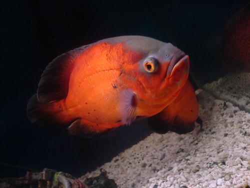 سمكة أوسكار Oscar Fish