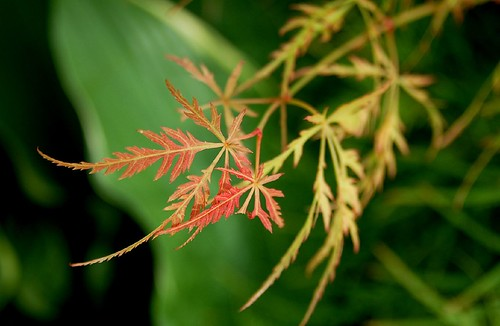 Lace Leaf Japanese Maple