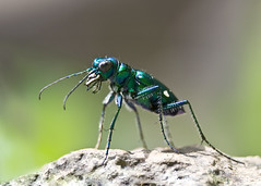Six-Spotted Tiger Beetle (b_nicodemus) Tags: home bug insect spring backyard indiana 2008 browncounty cicindelasexguttata sixspottedtigerbeetle