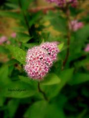 (GamZeynel http://haydimutfaga.blogspot.com/) Tags: pink flower green trkiye istanbul iek yeil pembe flickrcolour damniwishidtakenthat