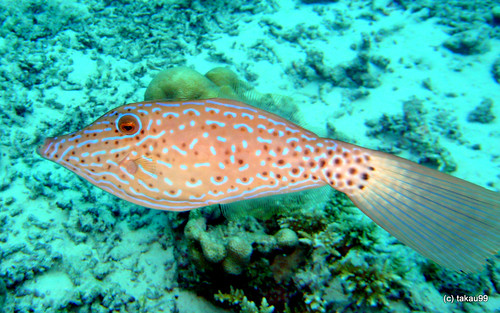 Scrawled filefish, Thaialnd