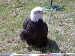 Eagle 2 (softballplayer5115) Tags: wow eagle indian pow