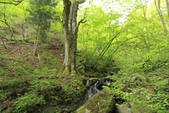 穴路峠の沢の滝と栃の大木