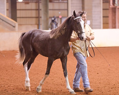 DSC_0714 (Bobby Todd, II) Tags: horses rodeo equestrian walkinghorse tennesseewalkinghorse horsephotography millercoliseum horseinstruction