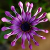 OSTEOSPERMUM (rayd2b ..(Back with a new avatar)) Tags: flower purple masterphotos anawesomeshot top20purple top20everlasting macrolife goldstaraward wonderfulworldofflowers