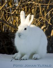 skogshare (5) (Johan Ylitalo) Tags: animal hare skogshare