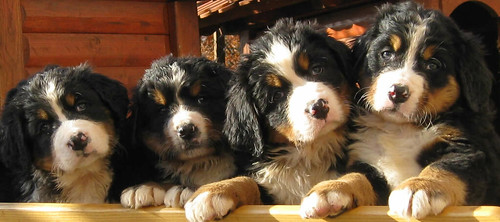 cute bernese mountain puppies by mitjamavsar.
