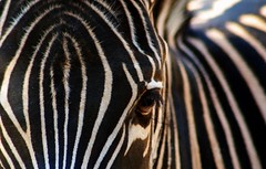 For Valerie Frank and Of course Cilinia (tammyjq41) Tags: eye bravo explore zebra zooatlanta supershot diamondclassphotographer