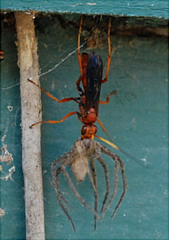 Wasp Carrying A Spider