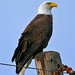 Bald Eagle by Jim Sullivan