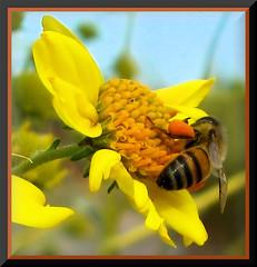 Just pollinatin'... ( jon argos ) Tags: blue orange green yellow bee explore daisy pollen bec honeybee pollinating bellbottoms naturesfinest passionphotography goldenmix mywinners abigfave theexhibit anawesomeshot impressedbeauty irresistiblebeauty superbmasterpiece diamondclassphotographer flickrdiamond macrophotosnolimits brillianteyejewel macromix buzznbugz wonderfulworldmix theperfectphotographer justpollinatin jonargos thepoweroftheflower explorewinnersoftheworld