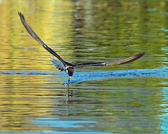 Black Skimmer (beachwalker2008) Tags: blackskimmer animalkingdomelite