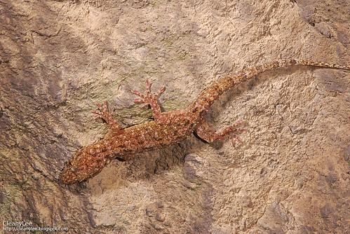 31055 菊池氏壁虎 (Kikuchi's Gecko) Gekko kikuchii