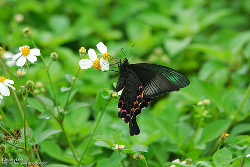 翠鳳蝶(蘭嶼亞種); 琉璃帶鳳蝶 Papilio bianor kotoensis