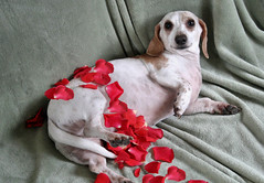 American Beauty Levi (geckoam) Tags: dog pet cute hotdog funny sausage valentine dachshund