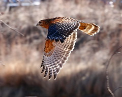 Red Shouldered Hawk (Buteo lineatus) (tonyadcockphotos) Tags: hawk raptor birdofprey redshoulderedhawk buteo buteolineatus explore469 poormouse avianexcellence ysplix brilliant~eye~jewel naturewatcher theperfectphotographer