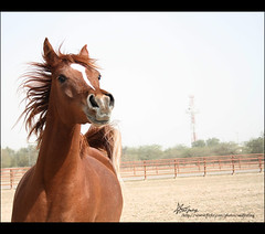 "4\365 , I love the ARABIAN beauty (""Anwaar) Tags: horses horse brown art love beautiful beauty bronze canon photography photo niceshot sad passion feeling kuwait arabian q8 compeition sadfeeling 4365 400d"
