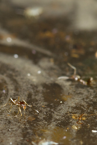 Some Ants Can Walk On Water (Some Can't)
